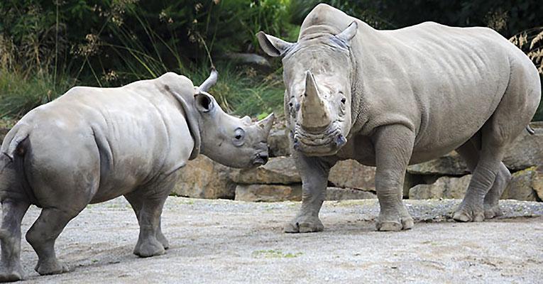 rinoceronte_bianco