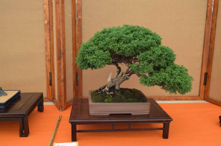 Ad Andora torna il Festival del Bonsai