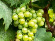 Vendemmia 2021, CIA, ottima qualità delle uve