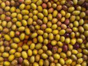 L'oliva taggiasca ottiene marchio Liguria dalla Ue